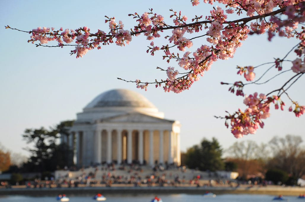 Cherry Blossom Washington DC